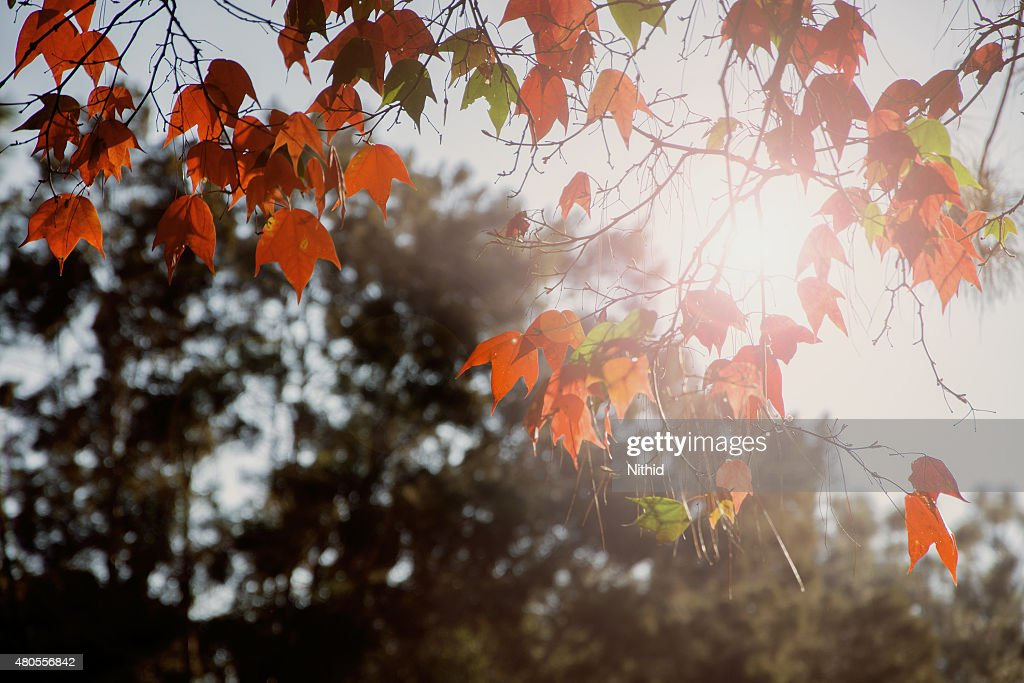 Red maple leaves : Stock Photo