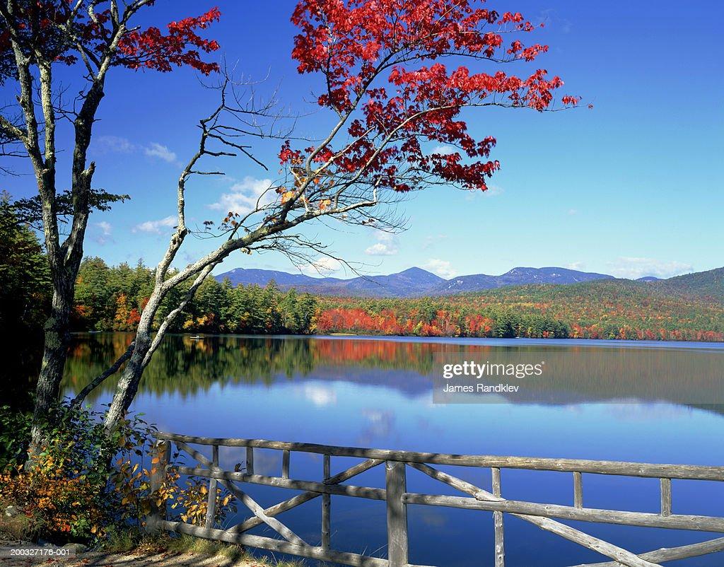 Red maple (Acer rubrum) on shore of Lake Chocorua, autumn