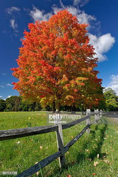 Red Maple tree and fence in autumn