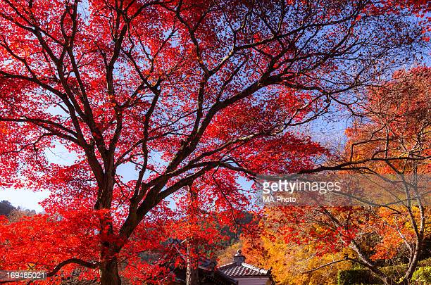 Red Maple Tree in a Temple