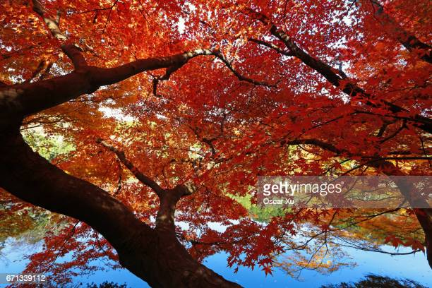 Red maples at Ryoanji