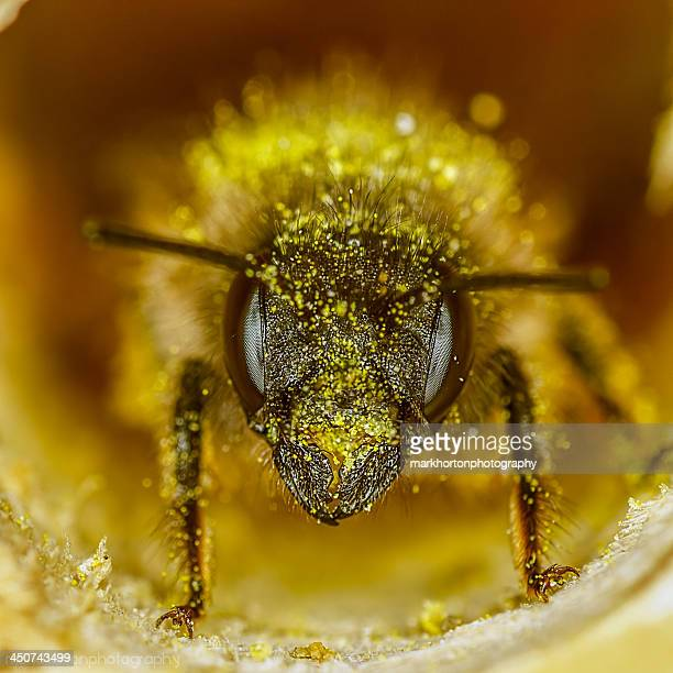 Red Mason bee (osmia rufa) in nesting tube
