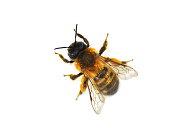 The wild bee Osmia bicornis red mason bee isolated on white background