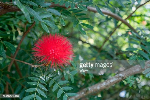 Red Mimosa Pudica in tropical garden. Thailand : Stock Photo