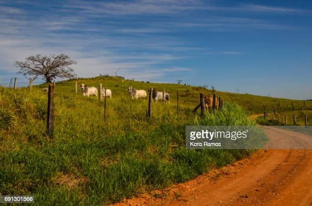 Red mud road and cattle grazing on the fence