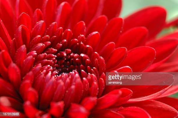 Red Mum Closeup