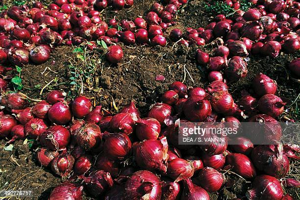 Red onions from Tropea Calabria Italy