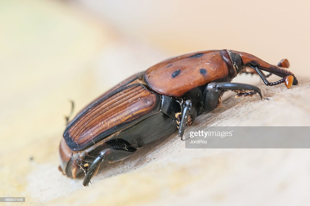 Red palm weevil (Rhynchophorus ferrugineus) : Stock Photo