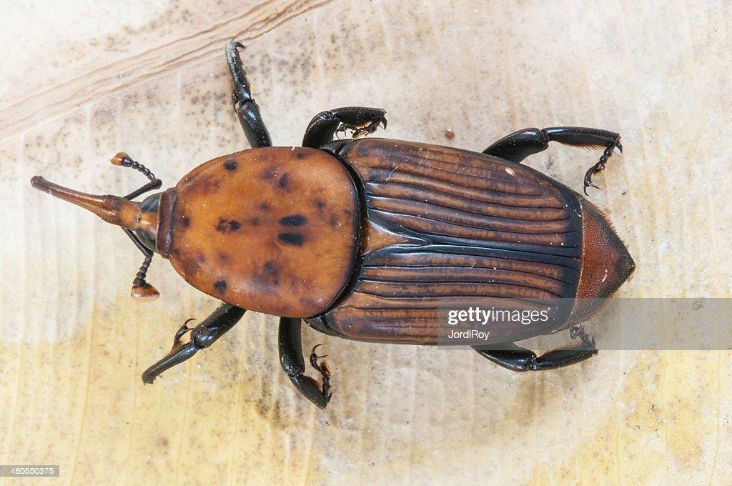 Red palm weevil (Rhynchophorus ferrugineus) : Stock Photo