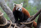A red panda at Melbourne Zoo on July 14 2016 in Melbourne Australia Melbourne is currently experiencing a cold snap with hail and frosty winds across...