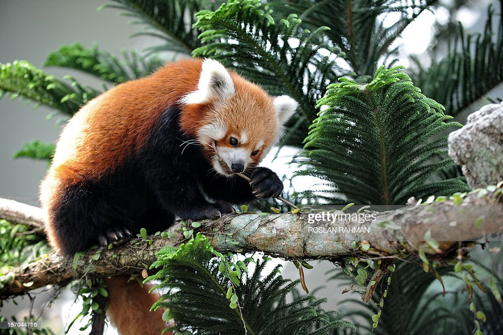Red Panda bites a twig on a tree branch housed in the same enclosure as two giant pandas during the official opening at the River Safari in Singapore on November 28, 2012. A pair of Red Pandas and two giant pandas, aged four and five-years old and on loan from China for 10 years to the Wildlife Reserve Singapore (WRS) will make their public appearance on November 29. AFP PHOTO/ROSLAN RAHMAN