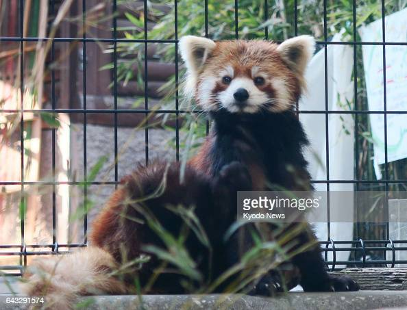 A red panda called 'Meita' is seen at the Chiba Zoological Park in Chiba near Tokyo on Feb 16 2017 Meita who was born in June 2014 was originally...