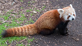 A red panda cub at Melbourne Zoo on July 14 2016 in Melbourne Australia Melbourne is currently experiencing a cold snap with hail and frosty winds...
