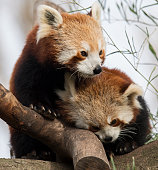 A red panda cub mother and her new cub at Melbourne Zoo on July 14 2016 in Melbourne Australia Melbourne is currently experiencing a cold snap with...