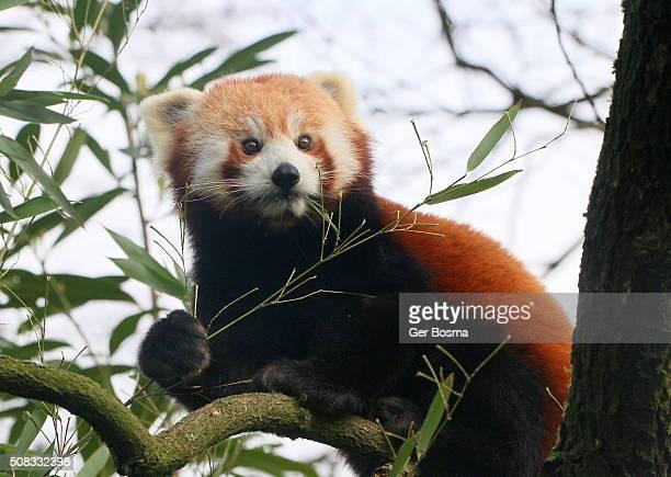 Red Panda Eating Leaves