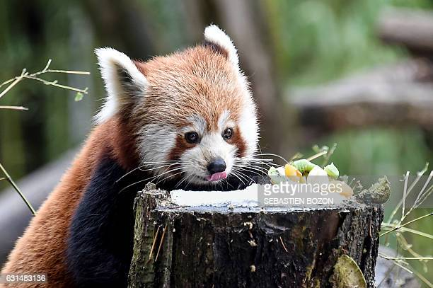 A Red panda feeds on fruits at its enclosure at the zoo of Mulhouse eastern France on January 11 2017 / AFP / Sebastien Bozon