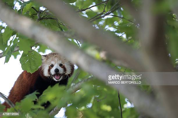 A Red Panda is pictured at the 'Zoom Torino' a zoological park in Cumiana near Turin on June 3 2015 Two young red pandas coming from an English park...