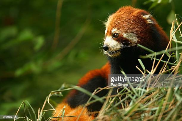 Red Panda is seen on show at China's largest breeding Programme at Chengdu Research Base Of Giant Panda Breeding on September 19 2007 in Chengdu...