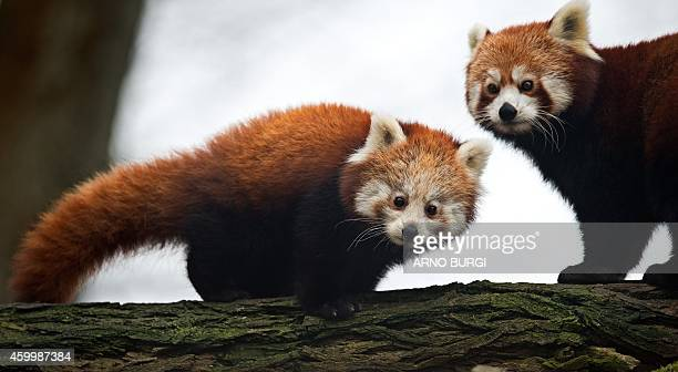 Red Panda male cub 'Bambo' and his mother 'Lobke' stroll through their enclosure at the zoo in Dresden eastern Germany on December 5 2014 The animal...