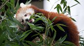 Red Panda male cub 'Bambo' eats bamboo in his enclosure at the zoo in Dresden eastern Germany on December 5 2014 The animal was born on July 12 2014...