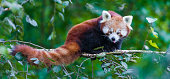 Red panda on the branch