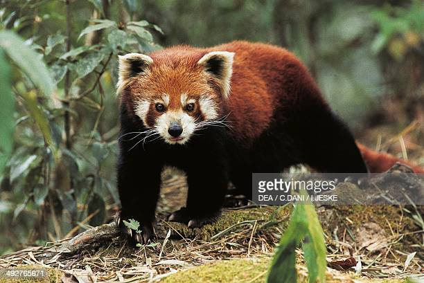 Red panda or Lesser panda Ailuridae