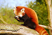 Red panda sitting high up on a tree trunk.