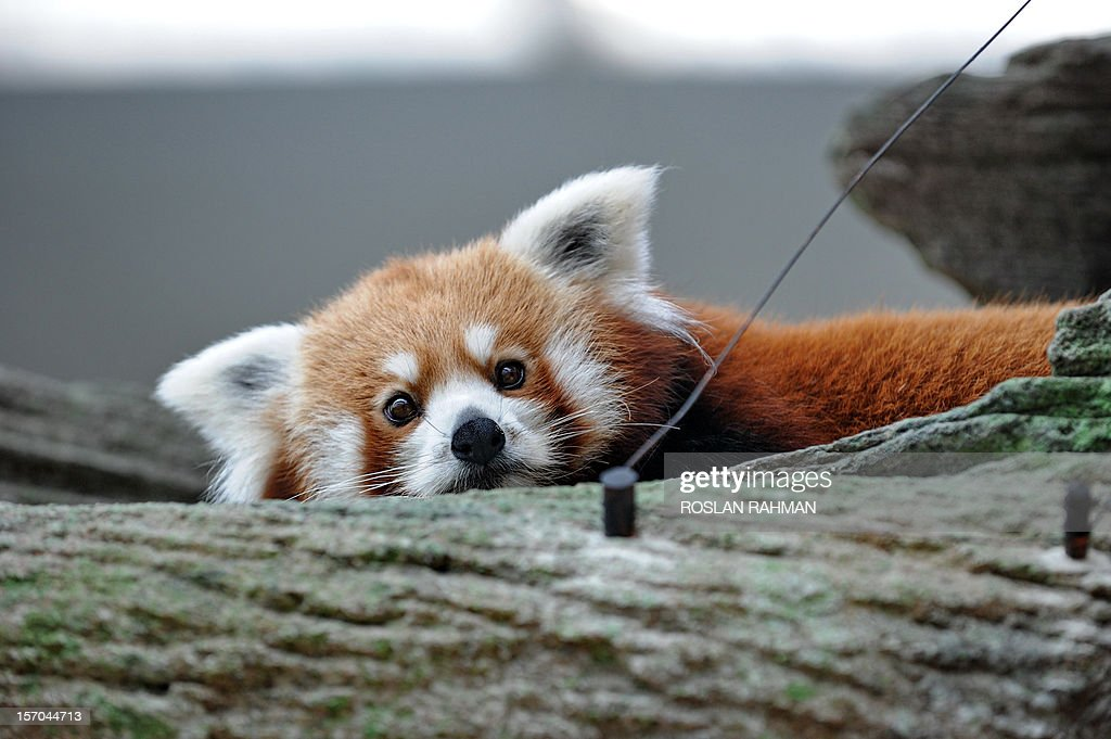 A red panda stands on a tree trunk housed in the same enclosure as two giant pandas during the official opening at the River Safari in Singapore on November 28, 2012. A pair of Red Pandas and two giant pandas, aged four and five-years old and on loan from China for 10 years to the Wildlife Reserve Singapore (WRS) will make their public appearance on November 29.