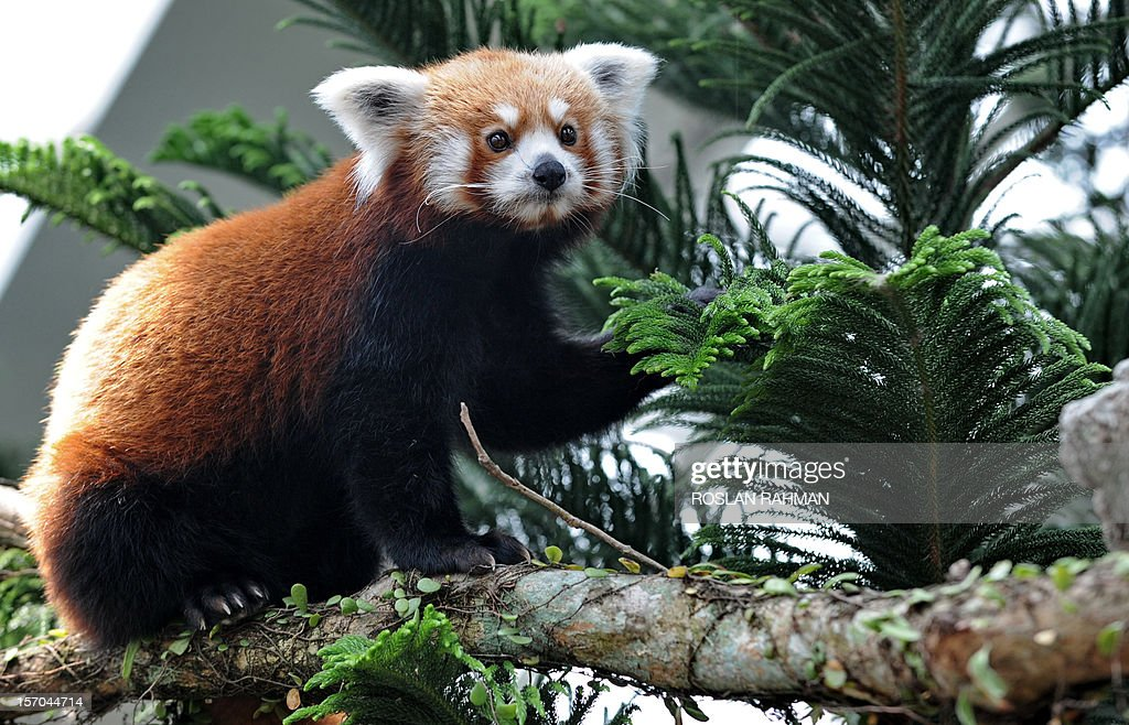 A red panda stands on a tree trunk housed in the same enclosure as two giant pandas during the official opening at the River Safari in Singapore on November 28, 2012. A pair of Red Pandas and two giant pandas, aged four and five-years old and on loan from China for 10 years to the Wildlife Reserve Singapore (WRS) will make their public appearance on November 29. AFP PHOTO/ROSLAN RAHMAN