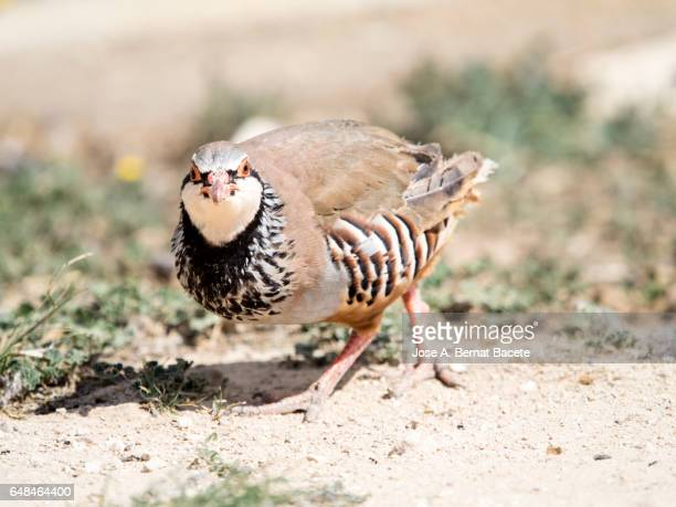 Red partridge of farm or upbringing in the field, (Alectoris rufa)