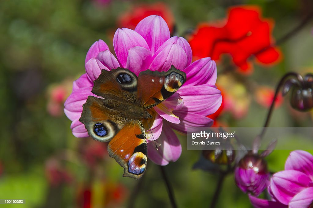 Red peacock butterfly on a dahlia bloom : Stock Photo