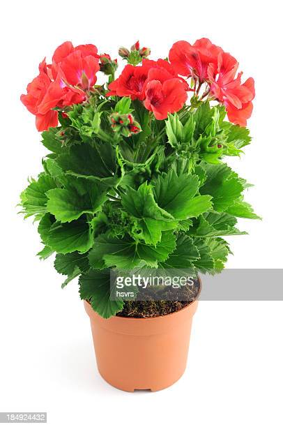red Pelargonium (Cransbill) isolated white background