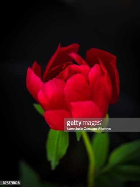 Red Peony (Paeonia Lactiflora)