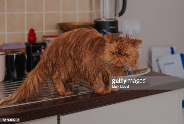 Red persian cat with wet fur standing on a kitchen counter