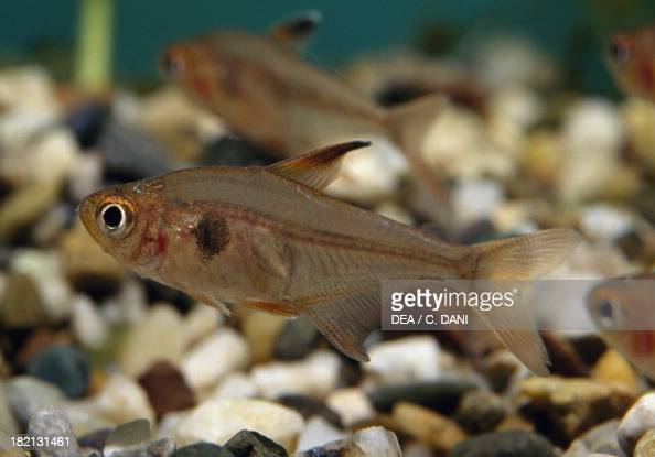 Red phantom tetra Characidae in aquarium
