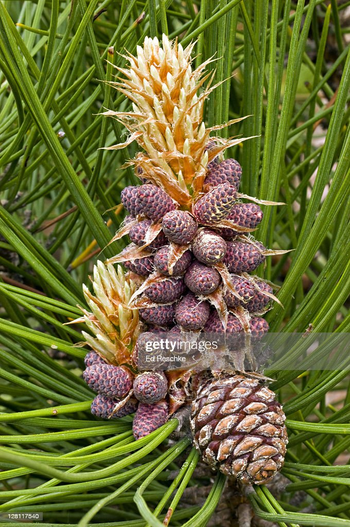 Red Pine. Female Cone and Male Cones, Pinus resinosa. Egg-shaped cones. An important timber tree. The smaller reddish cones are male cones and produce abundant pollen. Michigan