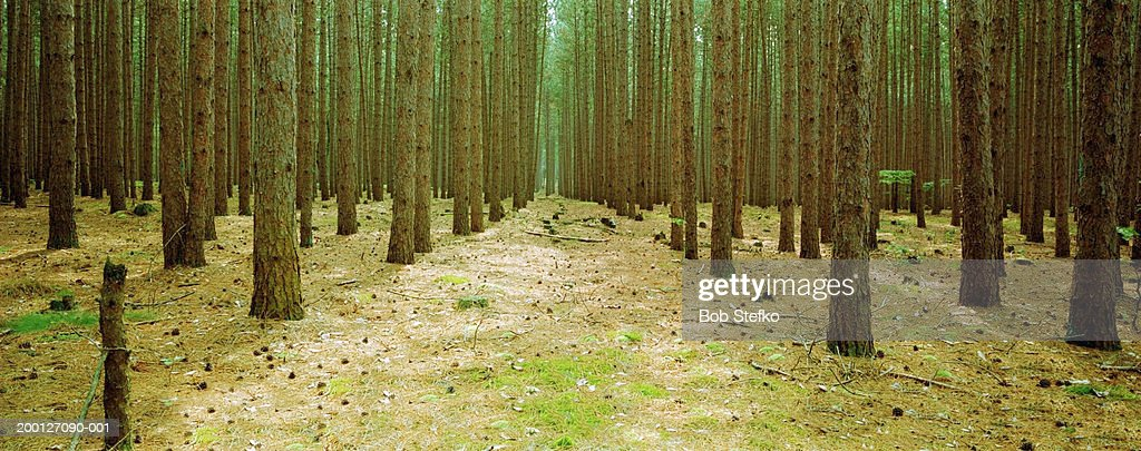 Red pine trees (Pinus resinosa) in forest, low section