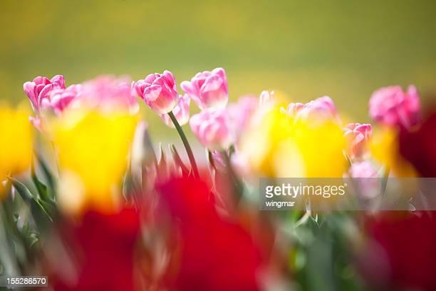 Rouge, rose et de jaune dans le jardin avec des tulipes Flouté