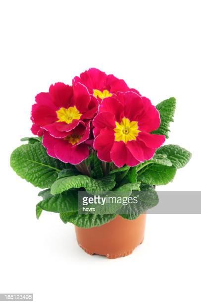 Rouge rose Primulacées Primrose (Fleur des zones tempérées