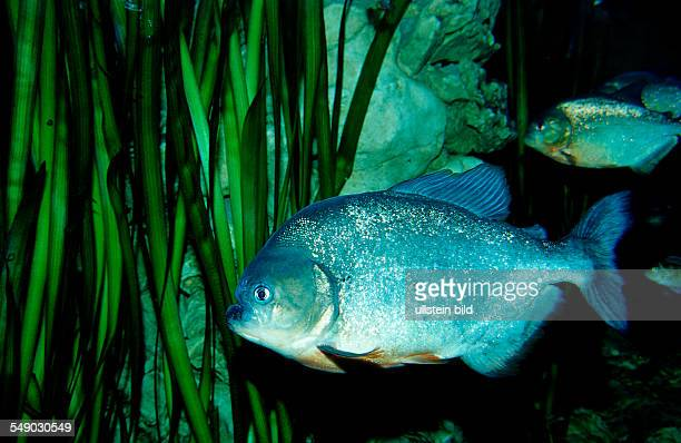 Red piranha Serrasalmus nattereri South america freshwater river Amazon Basin