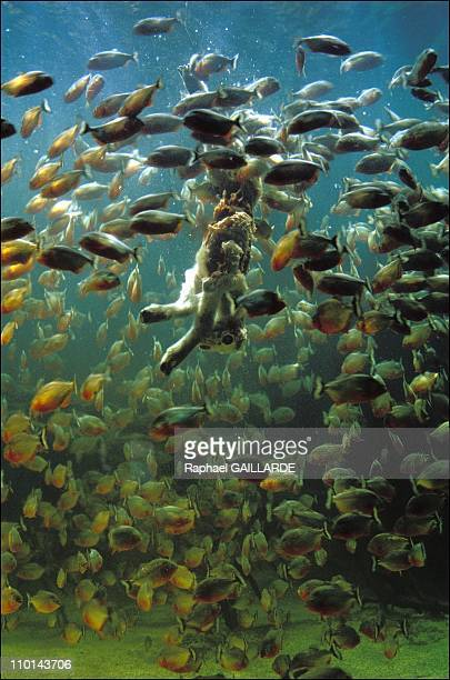 1200 red piranhas devour a lamb in Blois France on January 14 1998