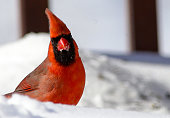 Northern Cardinal hunting for food after a snow storm.