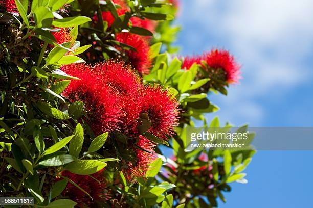 Red Pohutukawa Blossom with blue sky