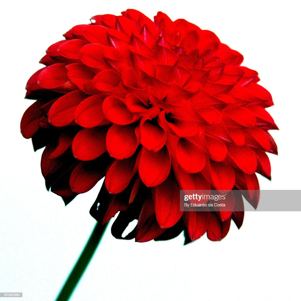 Red Pompom Dahlia : Stock Photo