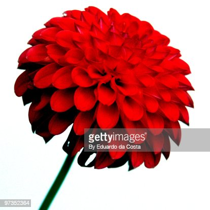 Red Pompom Dahlia : Stock Photo