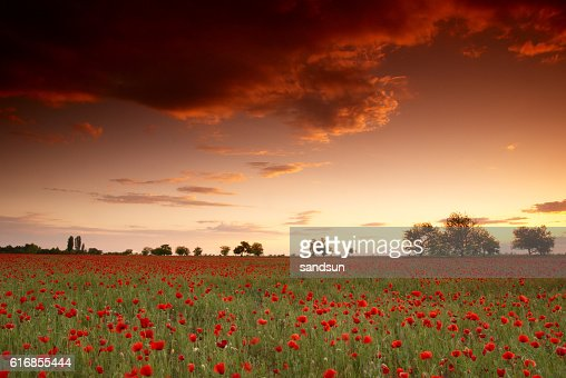 red poppies : Stock Photo