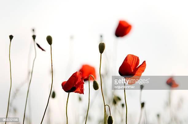 poppies rojo
