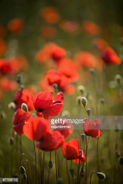 レッド poppies