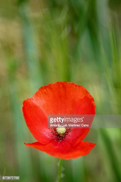 Red poppy flower among wheat crop