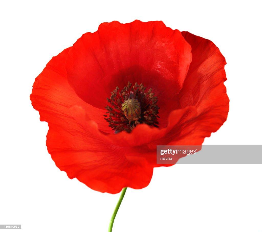 Red poppy flower on white